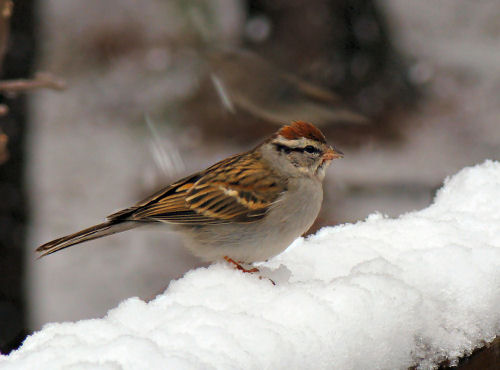 chipping sparrow in the snow