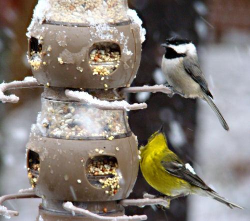 chickadee and pine warbler