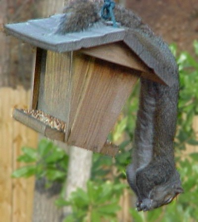 squirrel upside down on bird feeder